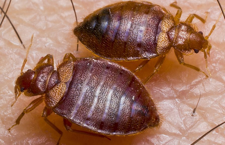 Bed Bug Prevention Nyc