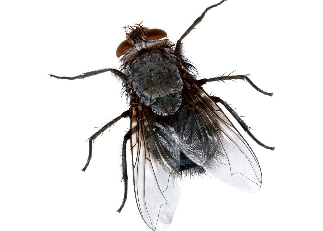 House Fly House Flies Pest Control Exterminators NYC, Exterminators  in New York City, Exterminators  Manhattan, Exterminators  Long Island City, Exterminators  Brooklyn, Exterminators  Bronx, Exterminators  Queens, Exterminators Upper West Side Soho Midtown Downtown Uptown