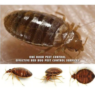 24 HourPest Control Exterminators NYC, Brookyln, Manhattan, Queens, Bronx and Long Island City, bed bugs, roaches, rodents, rats, mice, extermination