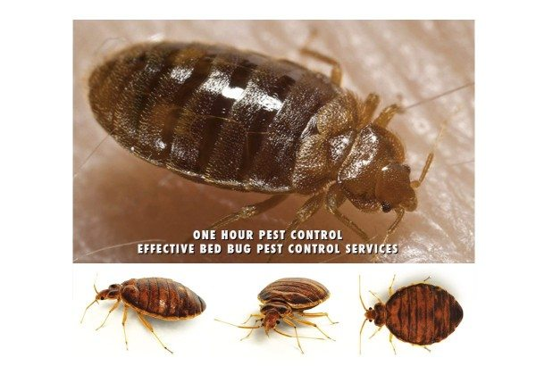 Bed Bugs Nyc Stop Living With Bed Bugs One Bedroom Apartments Up