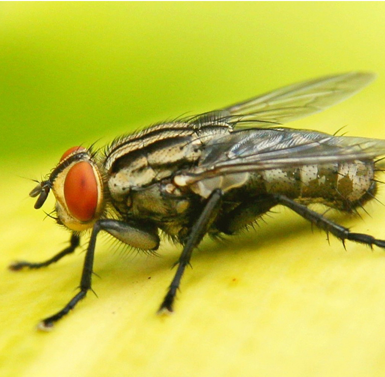 Fruit Flies Fruit Fly Pest Control Exterminators New York City NYC, Exterminators  Queens, Exterminators  Bronx, Exterminators  Brooklyn, Exterminators  Long Island City LIC Financial District Lower East Side Upper East Side Midtown