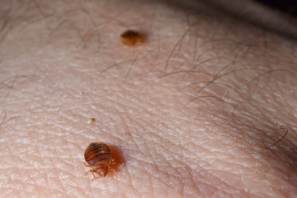 Bed Bug Pictures Bed Bug Exterminators In Nyc Brooklyn Queens