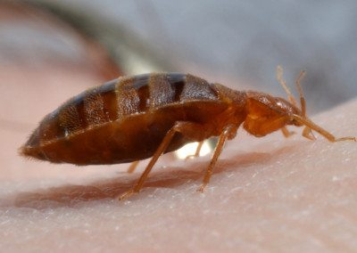 Bed Bug Pest Control Exterminator Services in NYC, Bronx, Queens