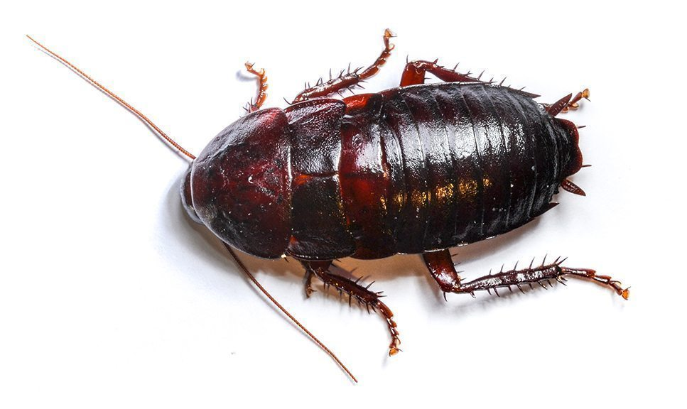 Bed Bug In Chinese
