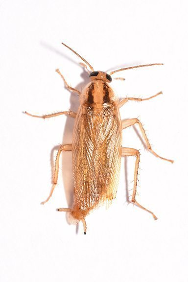 COCKROACH IMAGES AND IDENTIFICATION