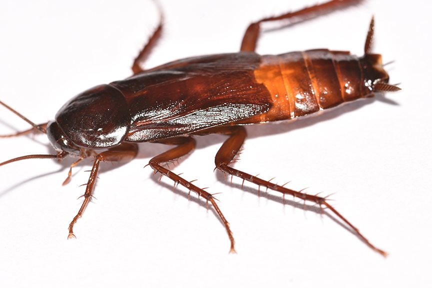 COCKROACH PICTURES AND IDENTIFICATION