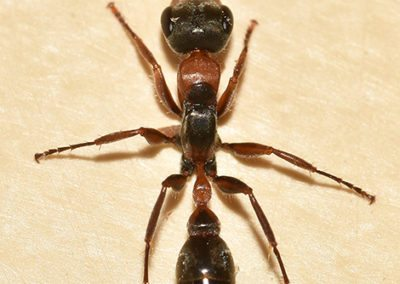 Ant Problem Pest Control in NYC, Brooklyn, Queens and LIC