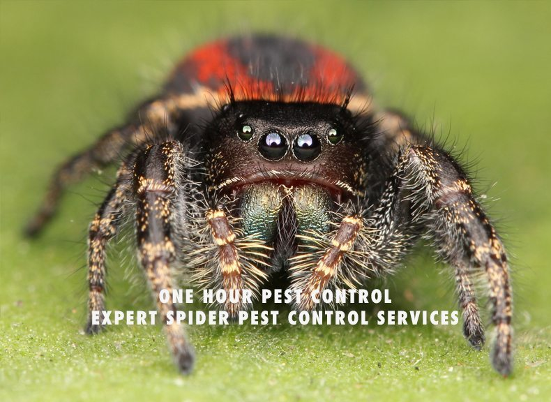 spider pest control in nyc