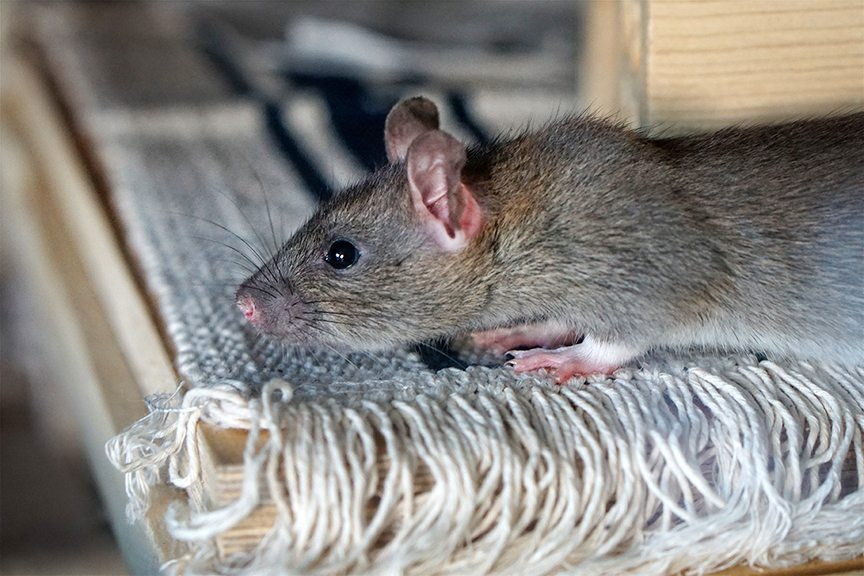 5 Mistakes Homeowners Make with Mice and Rats