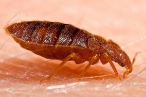 Why Are Bed Bugs So Common in NYC?