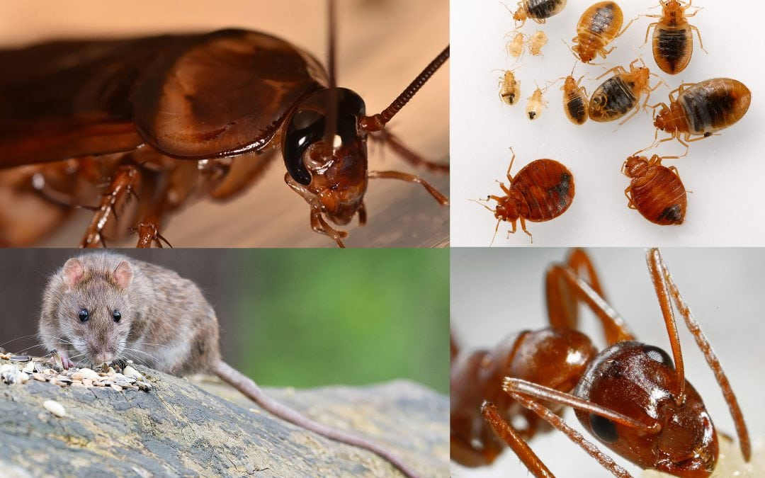What Types of Pests Are Most Common in Manhattan?